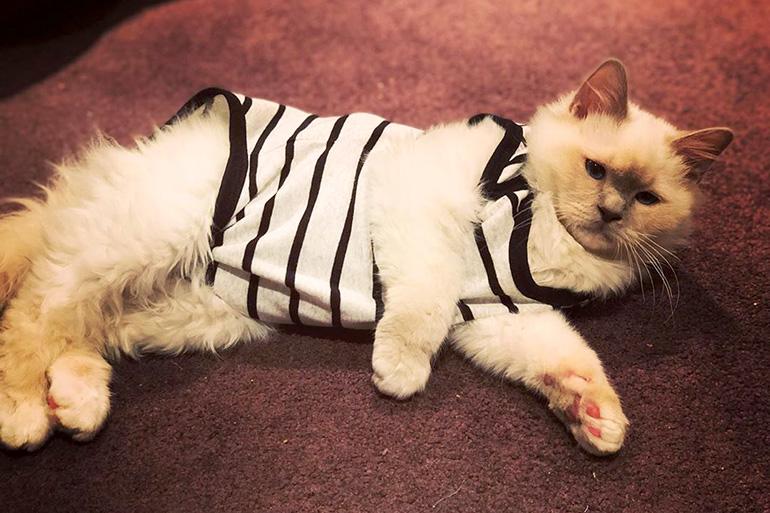 Как приучить кошку к ношению одежды?